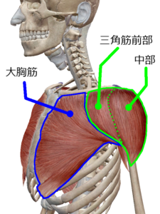 大胸筋 三角筋